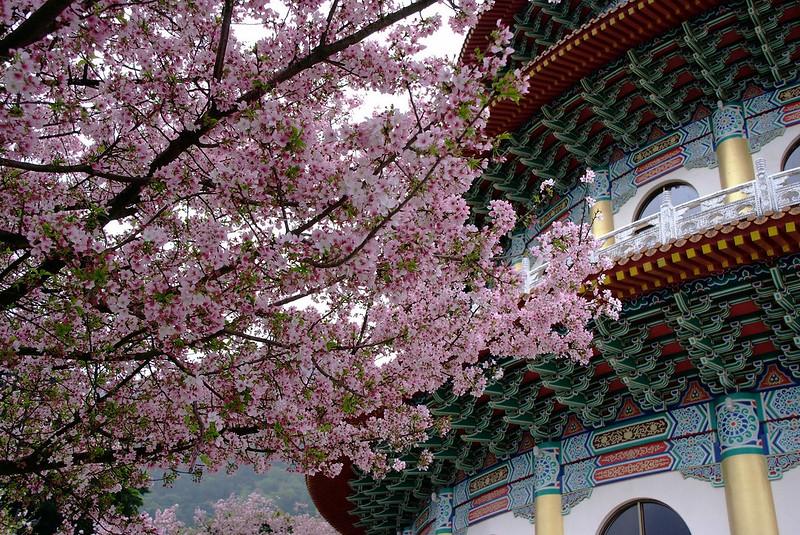 Sakura_Tamsui_Taiwan_Lady Travel